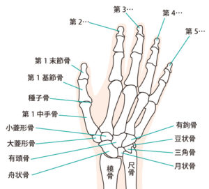 手の骨の構造
